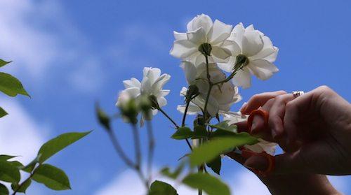 alice_wonderland_edible_rose_bush11